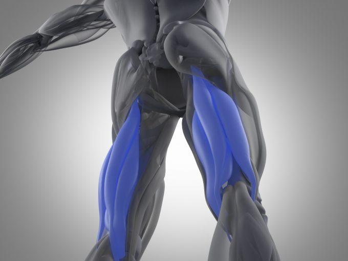 ハムストリングス 筋肉